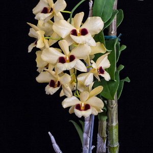 Dendrobium Gatton Sunray - Adulta