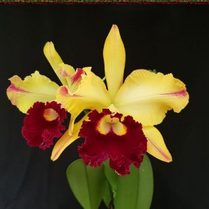 Blc. Tajima's Satisfaction - Adulta