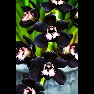 Cymbidium Negro Kiwi Midnight - Tamanho 3