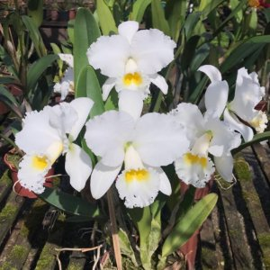 Cattleya Virginia Ruiz - Adulta