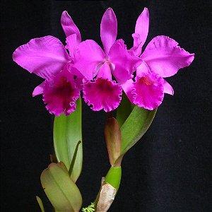 Cattleya Labiata Rubra X Rubra - Adulta