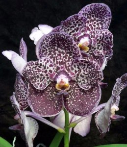 Vanda Joane Jones - Pré Adulta