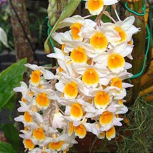 Dendrobium Thyrsiflorum - Tamanho 3