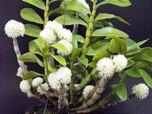 Dendrobium Purpureum Album - Tamanho 3