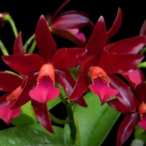 Cattleya Chocolate Drop - Adulta