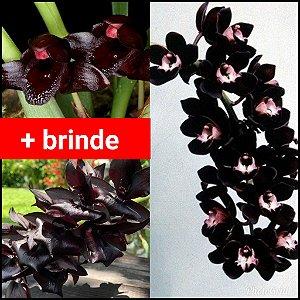 Combo Orquídeas Negras + Brinde - Leia a Descrição