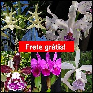 Kit 5 Orquídeas Adultas + Frete Grátis (Leia a Descrição)