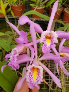 "Cattleya Maxima Tipo ""Dragon"" - Adulta"