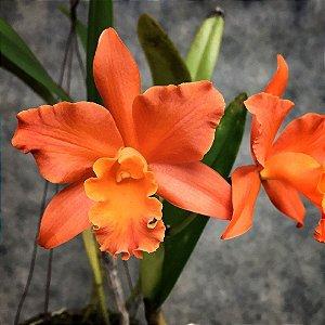 Blc. Tangerine Pokai - Tamanho 3