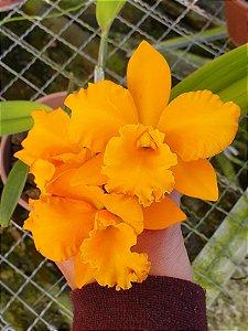 Pot. Twenty Four Carat 'Lea' x Blc. Fuchs Orange Nugget - Adulta