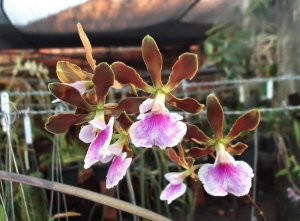 Encyclia Randii - Adulta
