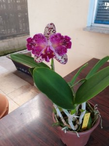 Blc. Durigan Aquarius Tetraploide #1 - Planta Única