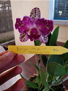 Blc. Durigan Aquarius Tetraplóide #2 - Planta Única