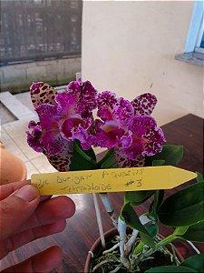 Blc. Durigan Aquarius Tetraploide #3 - Planta Unica