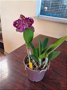 Blc. Durigan Aquarius Tetraploide #5 - Planta Unica