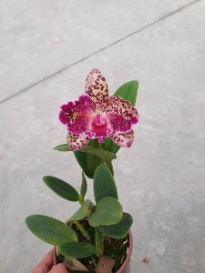 Blc. Durigan Aquarius Tetraplóide #9 - Planta Unica
