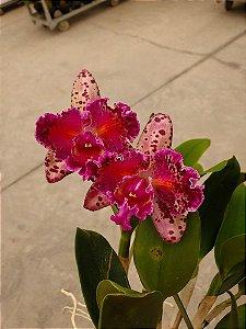 Blc. Durigan Aquarius Tetraploide #10 - Planta Unica