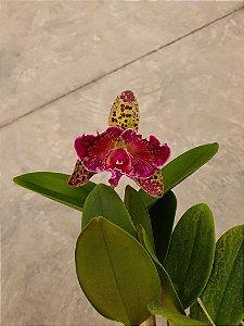 Blc. Durigan Aquarius Tetraploide #12 - Planta Unica