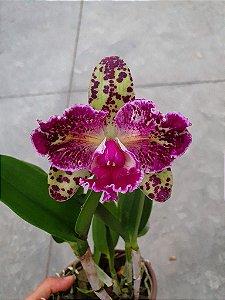 Blc. Durigan Aquarius Tetraploide #14 - Planta Unica