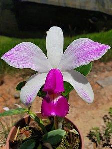 Cattleya Violacea Semi-Alba Striata - Adulta