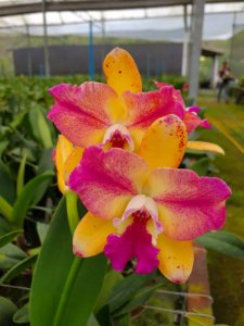 Pot. Haw Yuan Glory 'Golden Angel' x Slc. Golden Acclaim - Adulta