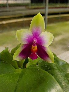 Phalaenopsis Bellina - Adulta