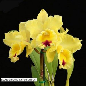 Blc. Goldenzelle 'Lemon Chiffon' - Adulta