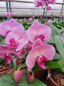 Phalaenopsis Híbrido Salmão - Adulta