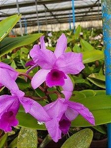 Cattleya Bowringiana - Adulta