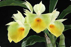 Catasetum Pileatum 'Oro Verde' - Adulta