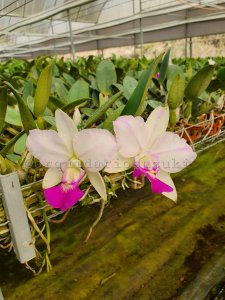 Cattleya Walkeriana S/A Flamea Tokutsu - Adulta