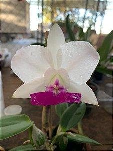 Cattleya Walkeriana S/A Priscila - Tamanho 3