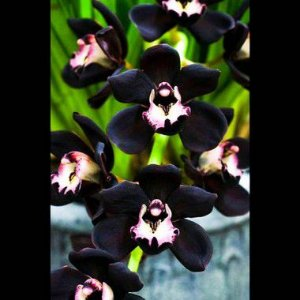 Cymbidium Negro Kiwi Midnight - Pré Adulto