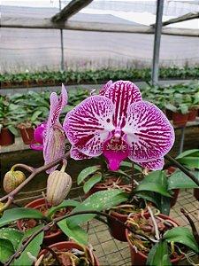 Phalaenopsis (Cod487sz) - Adulta