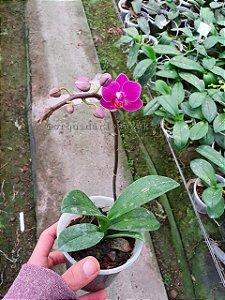 Mini Phalaenopsis Rosa - Adulta