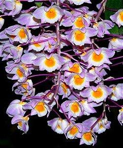 Dendrobium Amabile (Bronckartii) - Tamanho 3