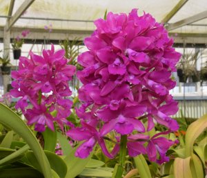 Cattleya Bactia - Adulta