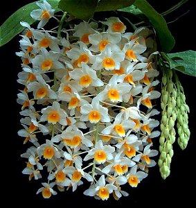 Dendrobium (Densiflorum x Mousmee) - Vaso Cheio Adulto