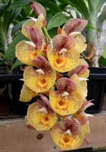 Catasetum Orchidglade 'Davie Ranches' - Adulto