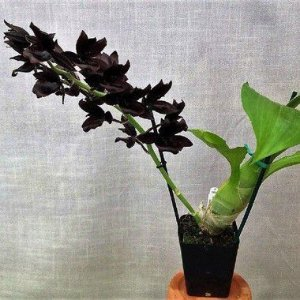 Monnierara Millennium Magic 'Witchcraft' - Adulta