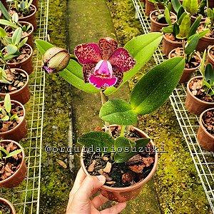 Blc. Durigan Iris - Adulta