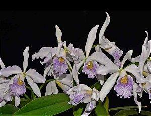 Cattleya Dominiana Coerulea - Adulta