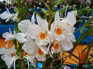 Dendrobium Formidable - Pre Adulto