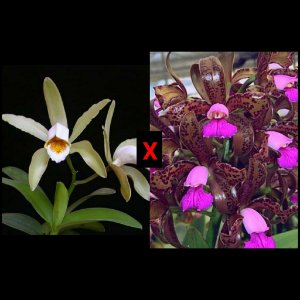 Cattleya Forbesii x Cattleya Tigrina - Tamanho 3