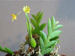 Dendrobium Mannii - Pré Adulto