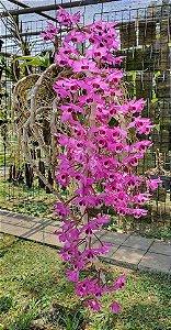 Dendrobium Parishii - Tamanho 3