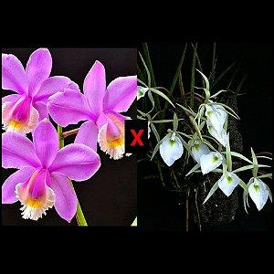 Brassavola Tuberculata x Cattleya Harrisoniana - Tamanho 3
