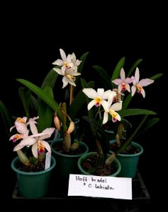 Cattleya Labiata x Hoff. Bradei - Adulta