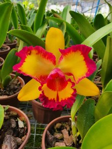Blc. Nobile's Tropical Sunset - Adulta