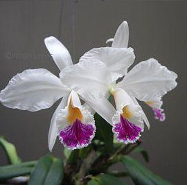 Cattleya Jenmanii Semi Alba - Pré Adulta